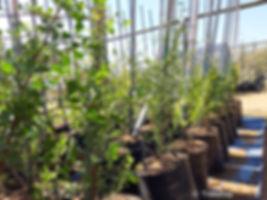 Kuni-bush for sale | Koeniebos | Searsia undulata
