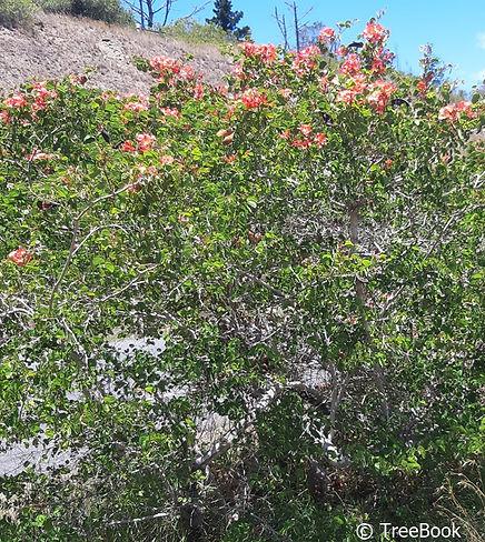 Vlam-van-die-vlakte boom   Bauhinia galpinii