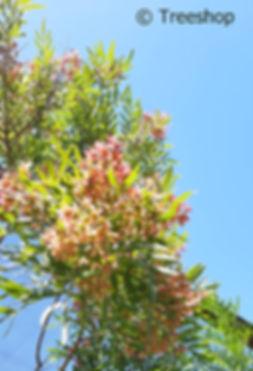 Loxostylis alata | Tarwood fruit