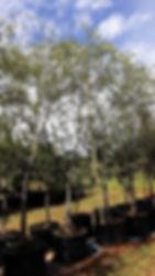 Cape willow tree for sale | Salix mucronata in 100L