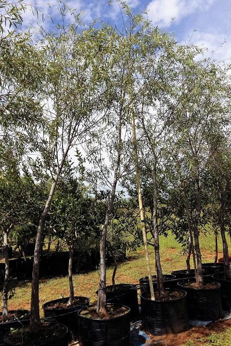 Salix mucronata ss mucronata | Kaapse Wilg | Cape Willow for sale