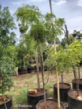 Tree wisteria for sale | Vanwykshout | Bolusanthus speciosus 100L C.jpg
