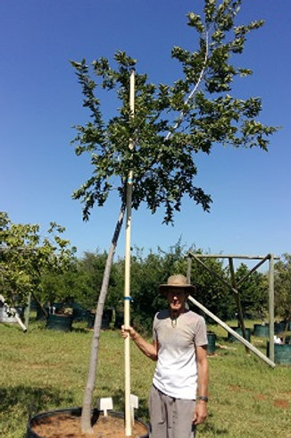 Celtis africana | White Stinkwood | Witstinkhout in 450L for sale
