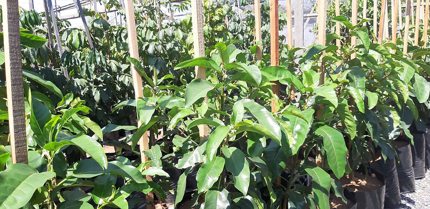 Ficus sansibarica   Knobbly fig for sale   Knoppiesvy