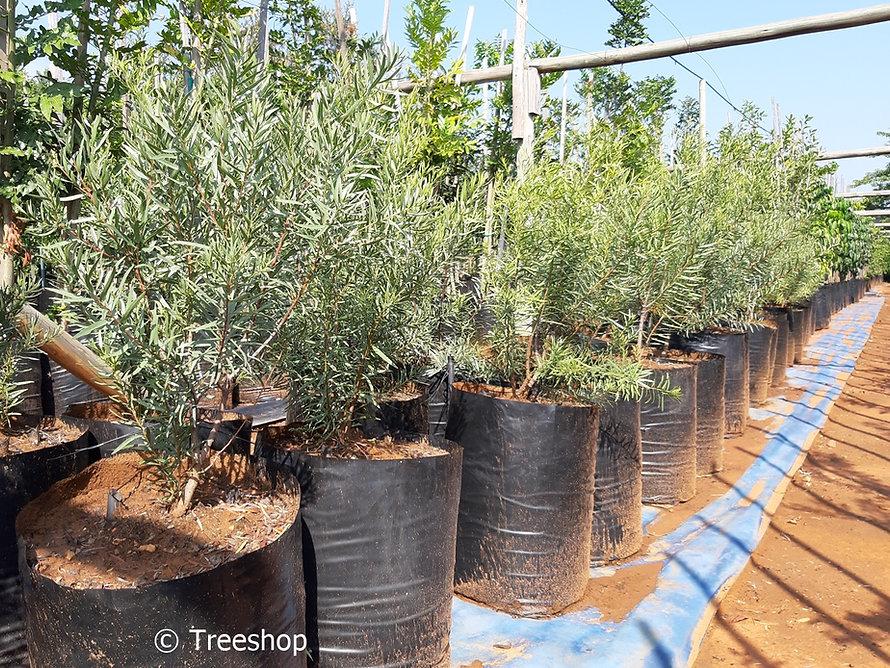 Black ebony tree for sale in 50L | Euclea pseudebenus