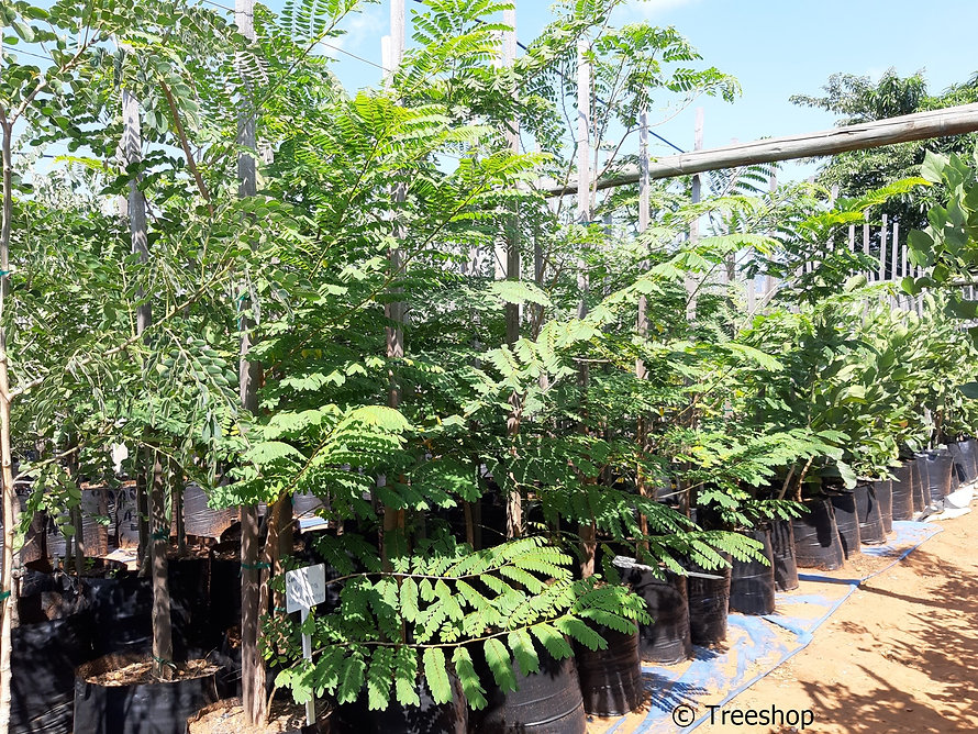 Wild-mango for sale in 50L   Cordyla africana