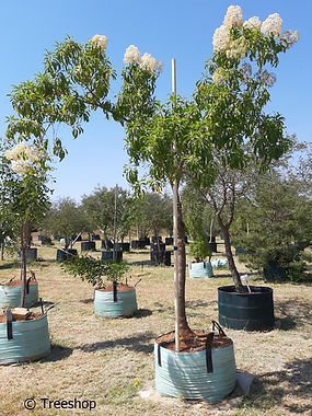 Forest elder for sale in 200L | Bosvlier | Nuxia floribunda