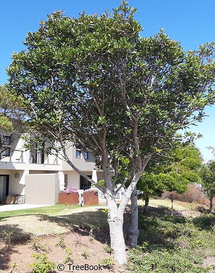 Rapanea melanophloeos  | Cape beech | Kaapse boekenhout | evergreen tree, growing at a medium rate