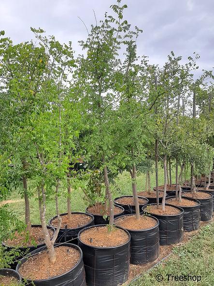 Nyala-tree for sale in 100L | Xanthocersis zanbesiaca jpg