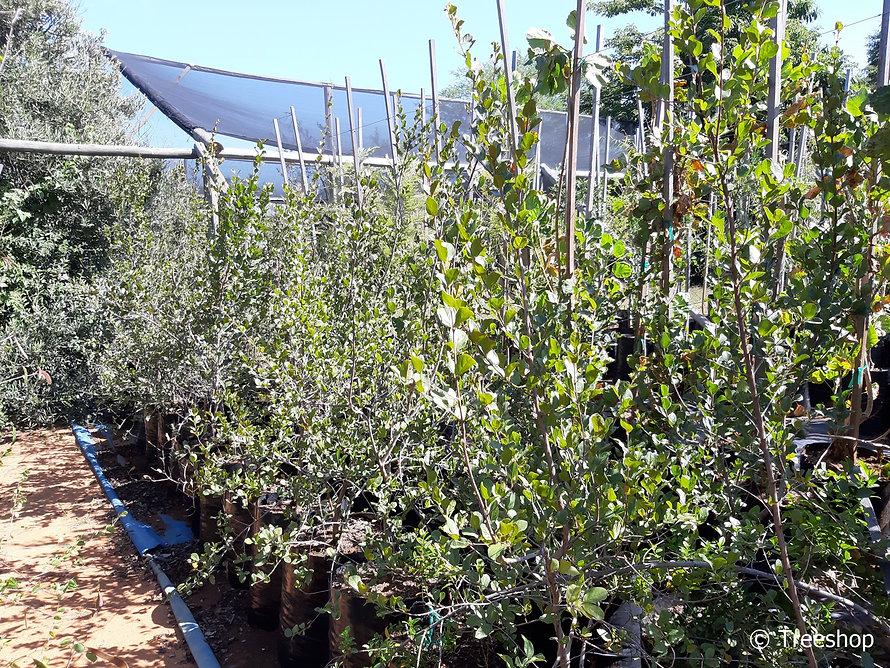 Russet bushwillow for sale | Kierieklapper boom | Combretum hereroense.jpg