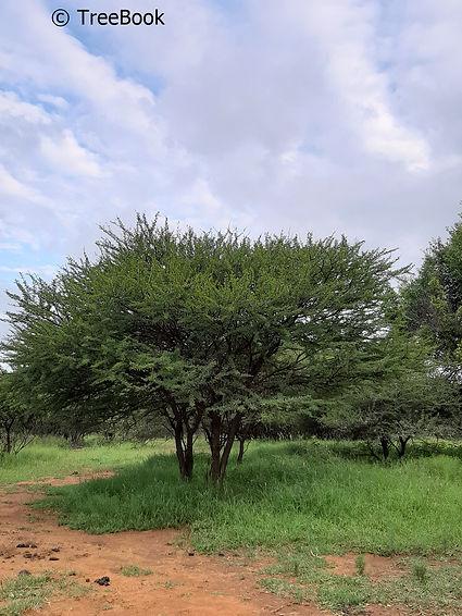 Vachellia tortilis | Umbrella thorn | Striking focal point for a small garden