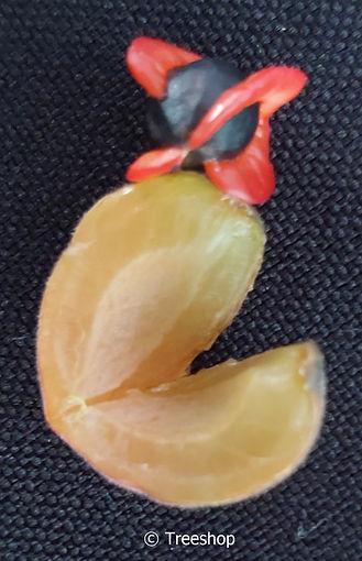 Commiphora mollis fruit and seed | Velvet-leaved corkwood fruit and seed | Fluweelkanniedood vrug en saad.jpg