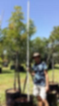 Tree wisteria for sale | Bolusanthus speciosus in 100L