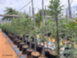 Cape-ash trees for sale   Essenhout boom   Ekebergia capensis.jpg