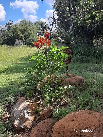 Kleinkoraalboom | Erythrina humeana
