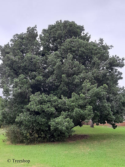 Sideroxylon inerme stand alone  tree in a large garden