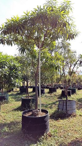 Kinaboom te koop in 450L   Rauvolfia caffra