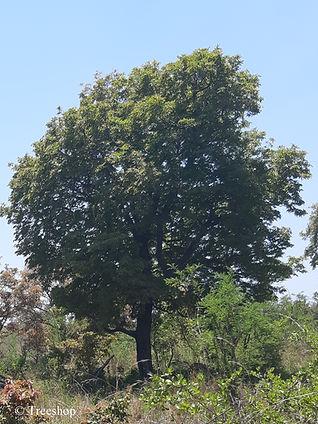Diospyros mespiliformis (Jackal-berry), image, taken in the Kruger National Park.