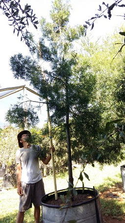 Outeniekwageelhout | Podocarpus falcatus in 450L
