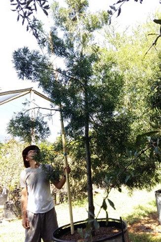 Podocarpus falcatus | Outeniqua Yellowwood | Outeniekwageelhout in 450L for sale
