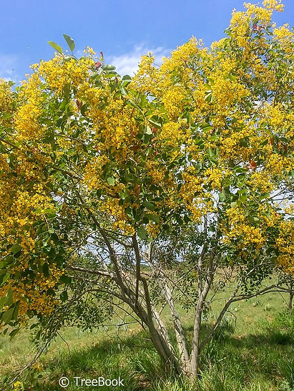pterocarpus rotundifolius   Round-leaved teak   Striking yellow flowers in profusion.
