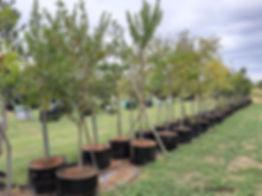 River bushwillow for sale | Riviervaderlandswilg | Combretum erythrophyllum 100L.jpg