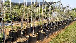 Soetdoring te koop   Acacia Vachelia karroo in 50L