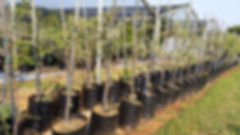 Sweet thorn tree for sale | Soetdoring boom | Vachellia karroo