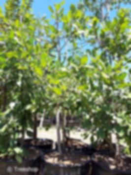 Apple-leaf for sale in 100L   Appelblaar    Philenoptera violacea.jpeg