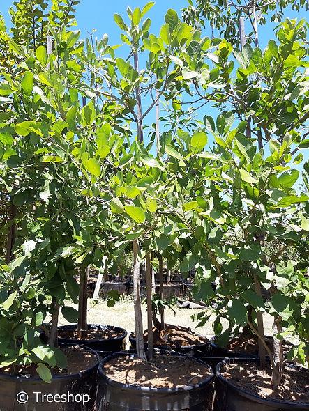 Apple-leaf for sale in 100L | Appelblaar |  Philenoptera violacea.jpeg
