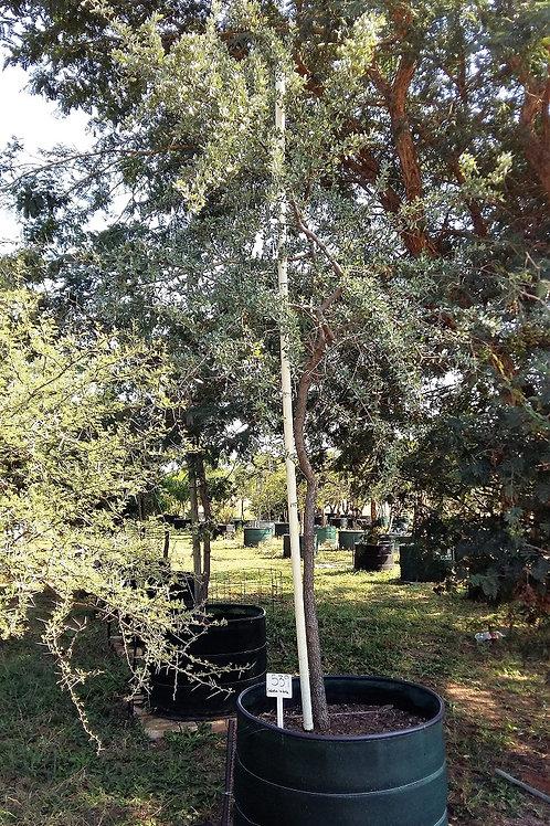 Combretum imberbe | Leadwood | Hardekool in 450L for sale