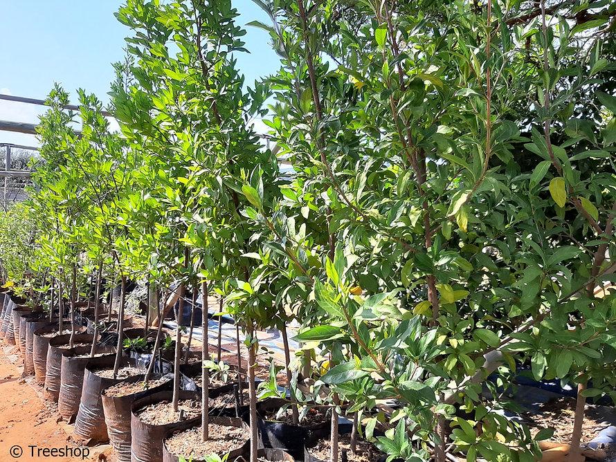 September-bells | Klokkiesvalskatjiepiering | Rothmannia globosa C.jpg