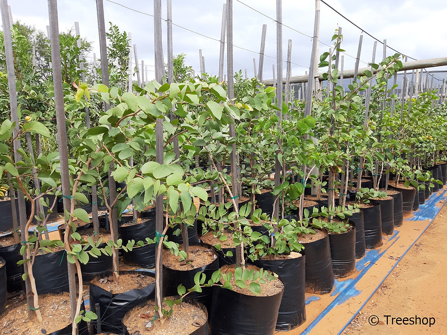 Mopane for sale | Mopanie boom | Colophospermum mopane.jpg