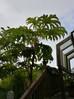 カミヤツデという植物、ご存じですか?