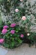 バラでもすごく長く咲き続けてくれるバラがあります。