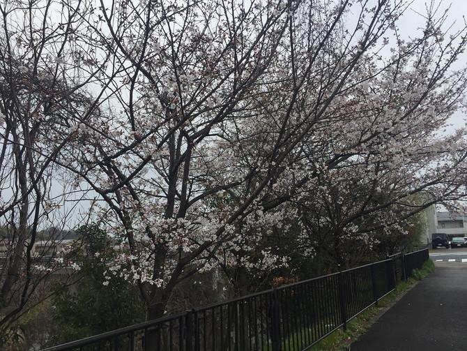 サクラ開花してます。