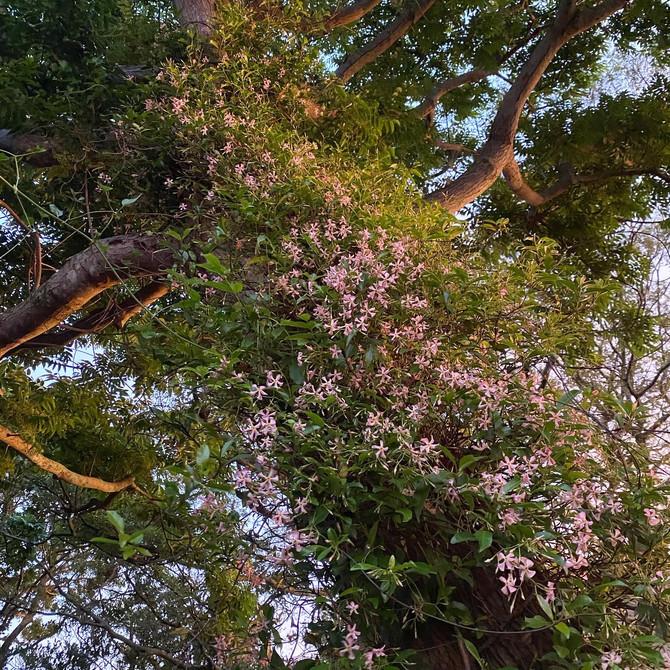 蔓性植物 テイカカヅラ