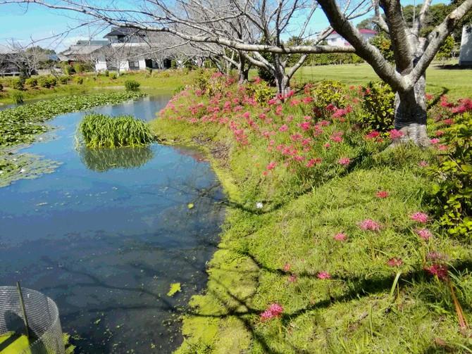 ヒガンバナぼ咲く素敵な風景と中秋の名月
