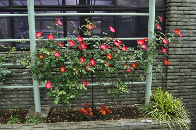 バラ 'カクテル'が咲きました