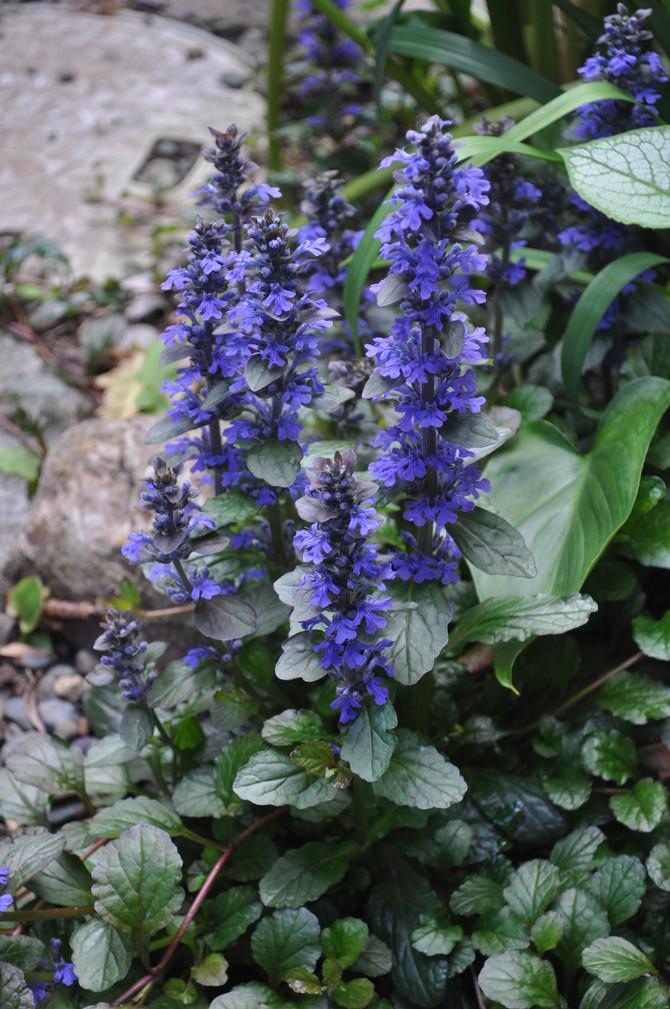 春のシェードガーデンの花達