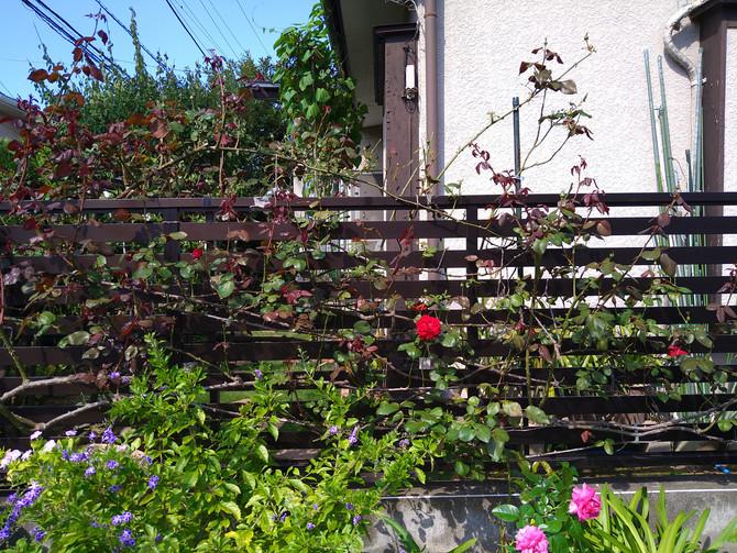 バラの夏剪定から一ヵ月でもう秋花が咲きそうです。