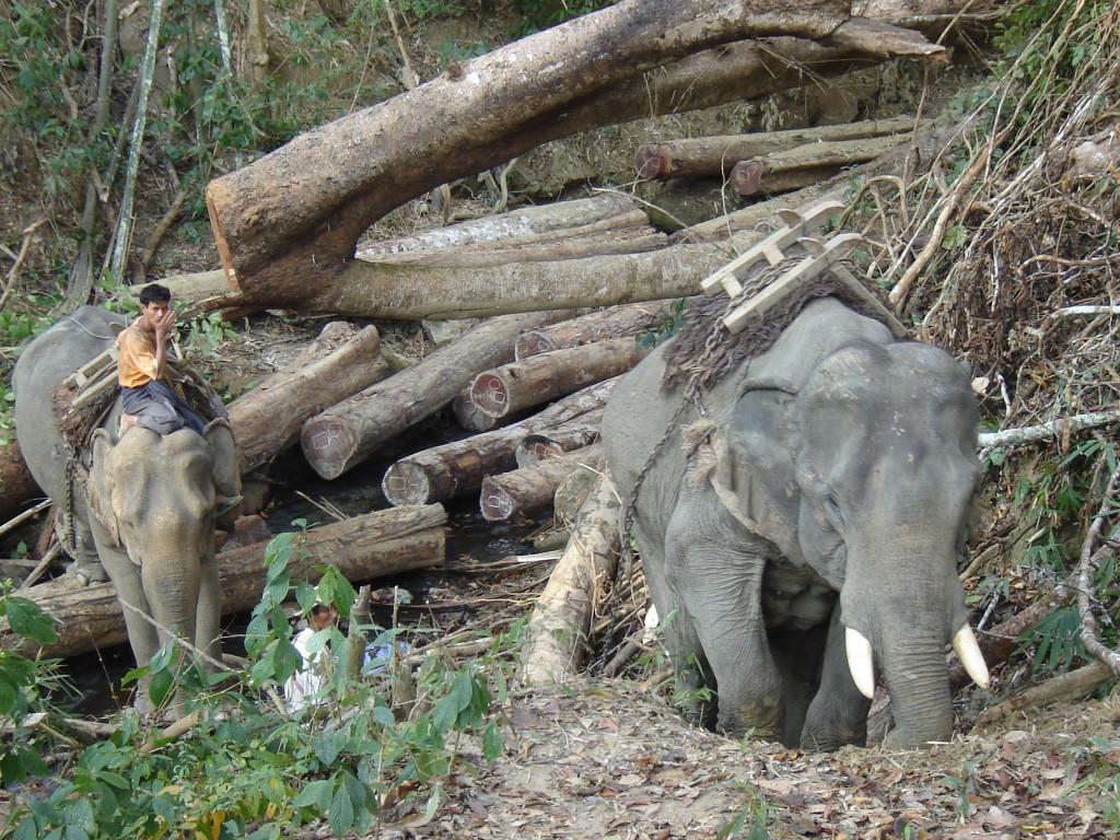 Illegal teak loggers in Myanmar