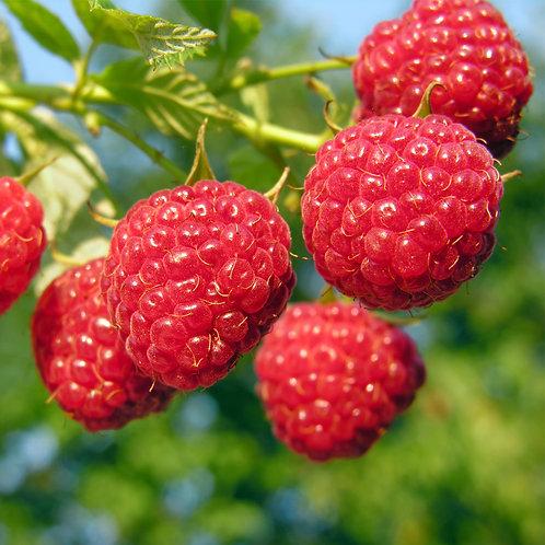 Sun Ripened Raspberry