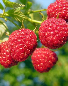sun ripened raspberry.jpg