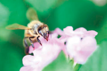 A honeybee's tongue is more Swiss army knife than ladle