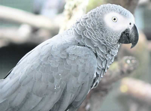 Foul-mouthed parrots to return to park, possibly reformed