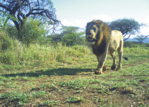 Lions are lovely, but petite carnivores need affection, too