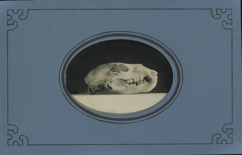 found black bear skull.jpg