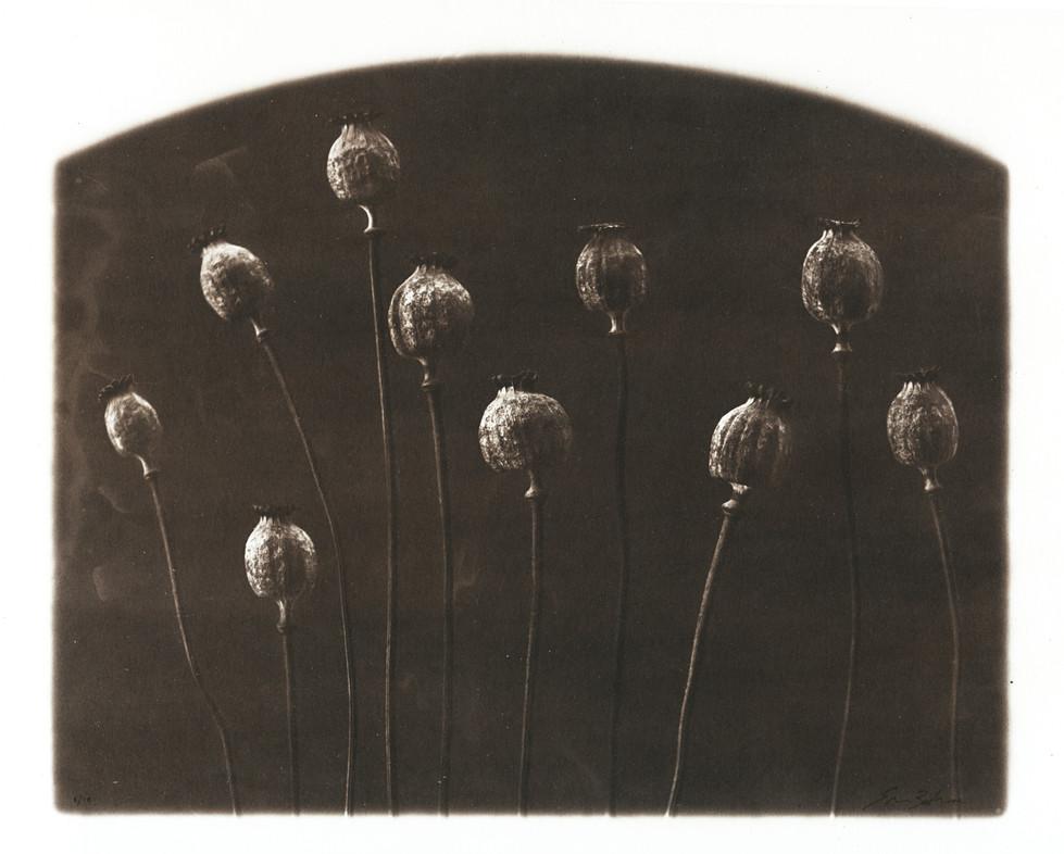 opium pods.jpg