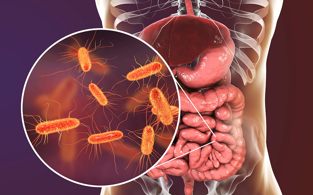 Grossissement cde probiotiques dans l'intestin.
